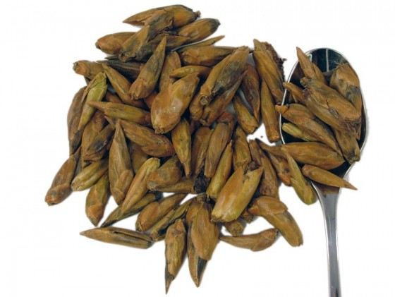 Balm of Gilead buds (Populus balsaifera)